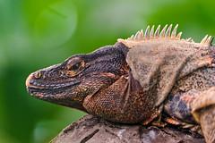 [Free Images] Animals 2, Reptiles, Iguanas ID:201206171000