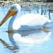 White Pelican  1
