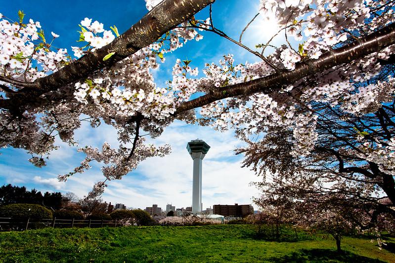 滿開的櫻花與五稜郭塔