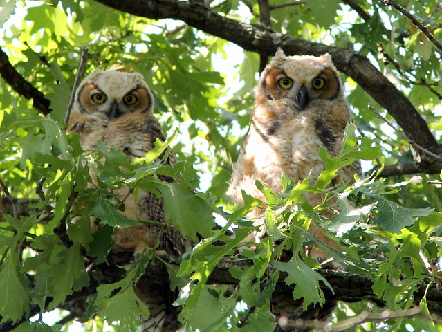 Great Horned Owlets 20120523