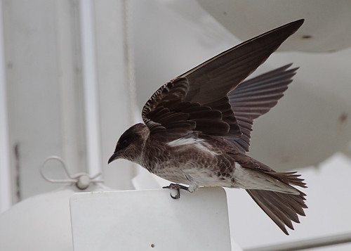 <p>We had a nice study of Purple Martins at a small town near Iowa City, it was neat to watch the variations in the female and immature male plumages. They are also such wonderfully shaped birds, muscle and grace all in one package.</p>