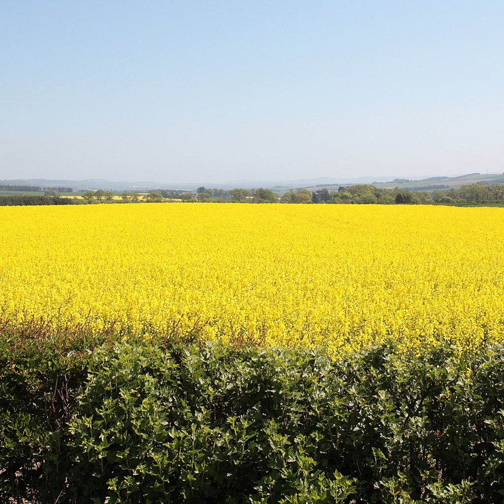 Yellow Field #2