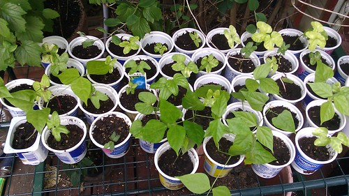 Morning Glory and Other Vine Seedlings by Gerris2