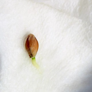 another Sorrento lemon seed sprouting