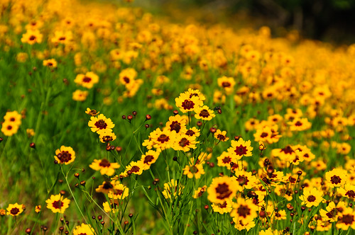 Coreopsis behind Sysco 27May2012 hha_0119 by 2HPix.com - Henry Huey