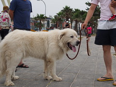 dog breed, animal, dog, pet, maremma sheepdog, mammal, slovak cuvac, great pyrenees,