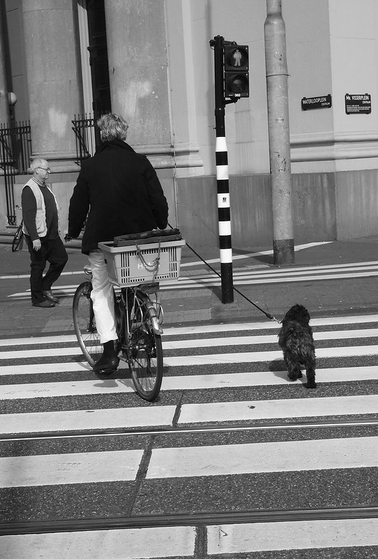 Dog crossing a zebra crossing while running beside its cycling boss, Amsterdam