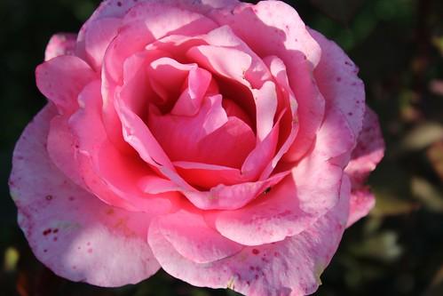 Róża by xpisto1