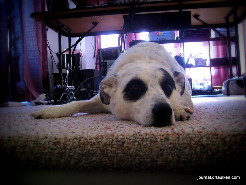 Happy Adopt-a-versary, Pearl!