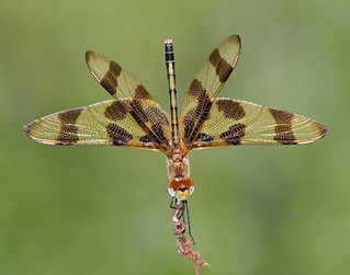 Halloween Pennant Dragonfly, female, obelisking