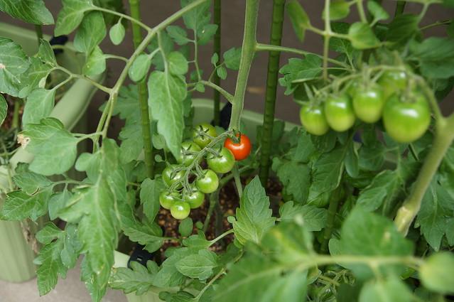 トマトの実が赤くなってきた