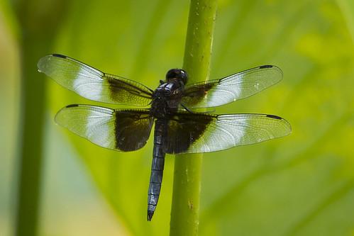 ohio dragonfly clarksville widowskimmer cowanlake