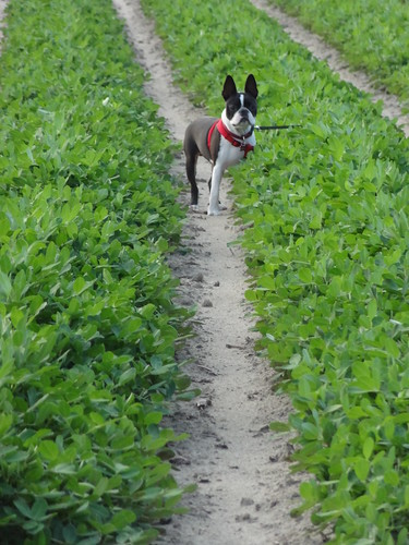 Charlie Peanut Field July 6, 2012 (1)