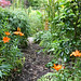 Asiatic lilies along the jungle path