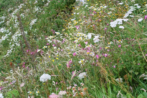 Wildflowers in profusion at Tintagel