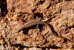 serpent(0.0), hognose snake(0.0), garter snake(0.0), sidewinder(0.0), animal(1.0), soil(1.0), reptile(1.0), lizard(1.0), fauna(1.0), lacertidae(1.0), scaled reptile(1.0), wildlife(1.0),