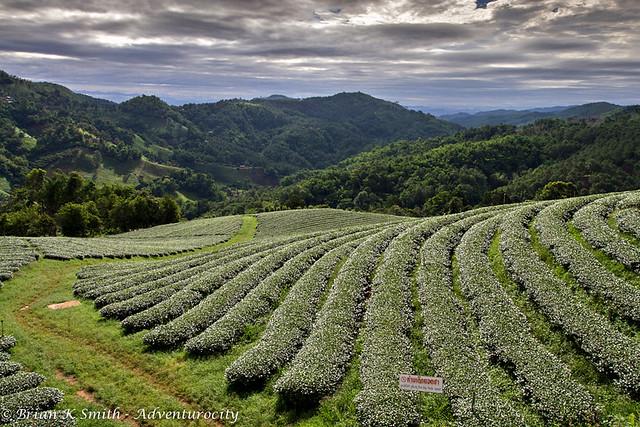 101 Tea Plantation Gardens, Doi Mae Salong
