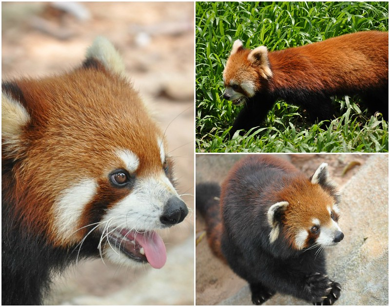 Zoo Collage 4 (Red Panda's)
