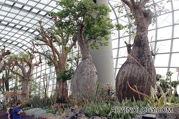 Closer look at the Baobabs