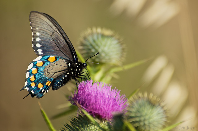 Pipevine Swallowtail Feeds on Thistle