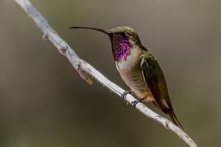 Adult Male Lucifer Hummingbird (Calothorax lucifer) - Ash Canyon in Hereford, AZ