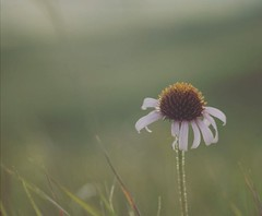 Echinacea. I found this fellow for the first time in my life growing wild and planted everywhere! as I crossed North America this year. I couldn't believe my eyes when somewhere in Montana I stopped to climb a hill for a photograph and there it was, waiti