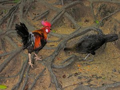 Red Junglefowls Gallus gallus