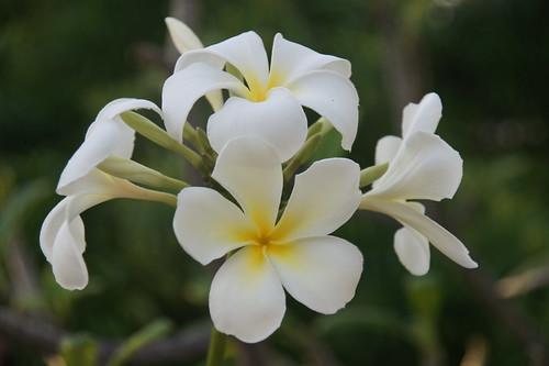 Belize: plumeria in the garden // Plumeria im Garten