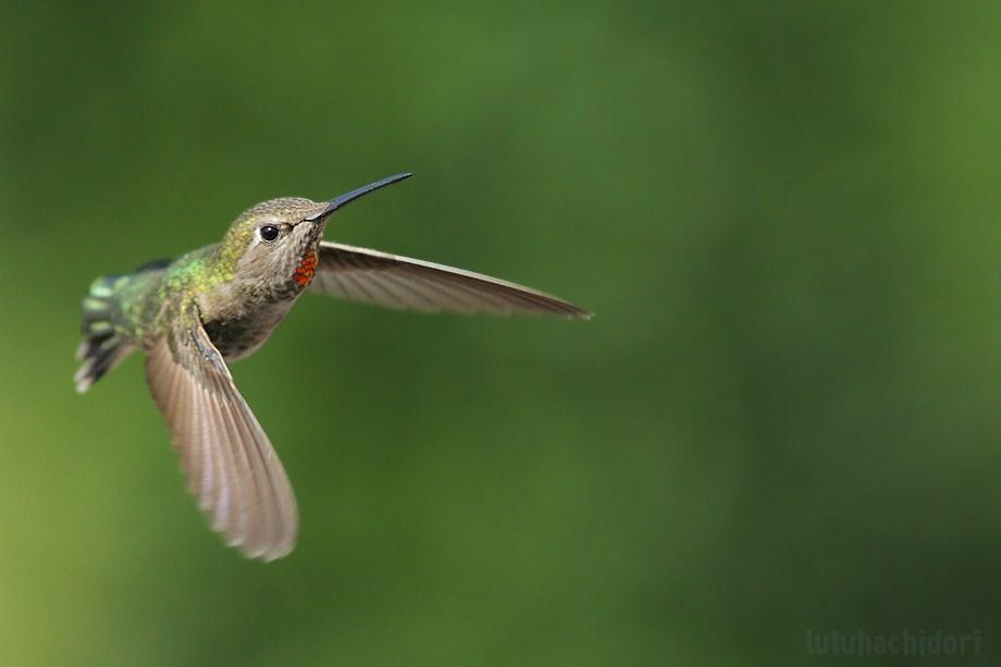 Anna's Hummingbird050112