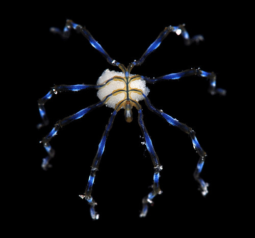 Male ovigerous sea spider (Pycnogonida)