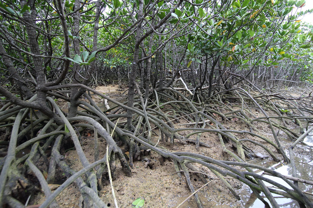 Gesashi area ~Mangrove forest