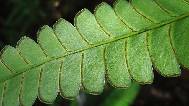 Header of lindsaea