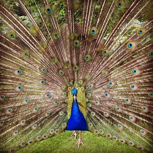 [フリー画像素材] 動物 2, 鳥類, 孔雀・クジャク ID:201206160400