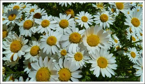 Flores (Feliz Quinta Flower by Miguel Allué Aguilar