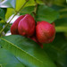 Ackee (not edible, poisonous actually)!