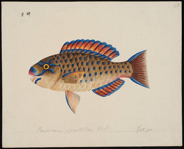 Pseudoscarus pyrrostethus Blkr [= Scarus ghobban Forsskål, 1775]