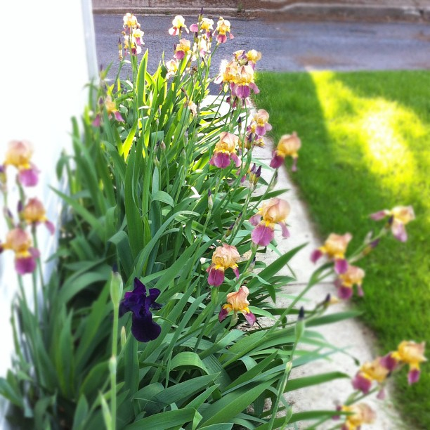The irises love living next to the garage.