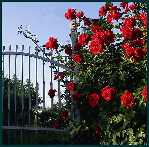 Miss Rose Fence by kontinova2 ( weekend break )