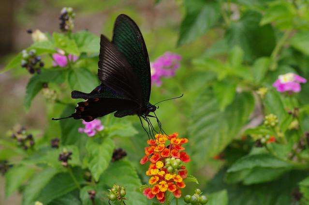 Papilio junia