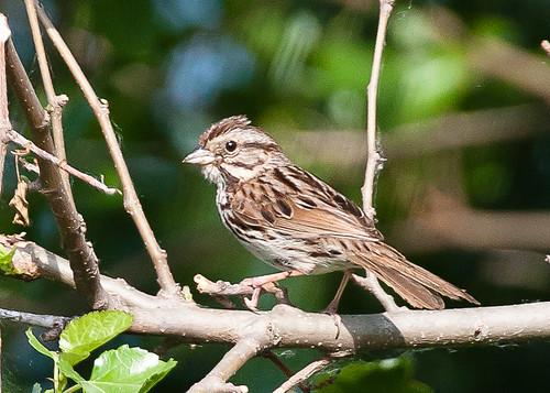 <p>A classic eastern Song Sparrow, I am getting into the habit of taking photos of Song Sparrows throughout the continent. Their variation is outstanding!</p>