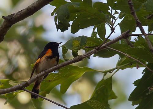 <p>By far the most common warbler in Iowa is the American Redstart. Iowa is a redstart factory it seems! Every woodlot has a heck of a lot of them singing there. In all my birding, I had never seen such high densities of American Redstarts - wow!</p>