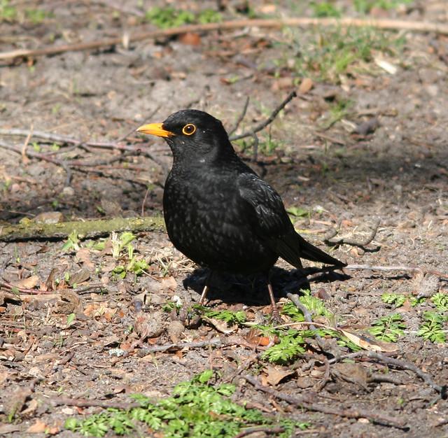 eurasian blackbird (2)