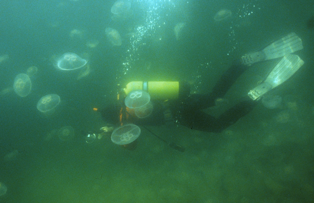 Diver among moon jellies, Newfoundland