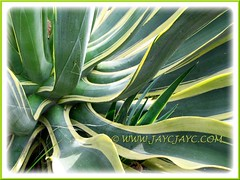 Agave desmettiana 'Variegata' with an offset