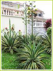 Agave desmettiana 'Variegata' (Dwarf Variegated Agave, Variegated Smooth Agave/Century Plant) with 3 flowering stalks, March 5 2012