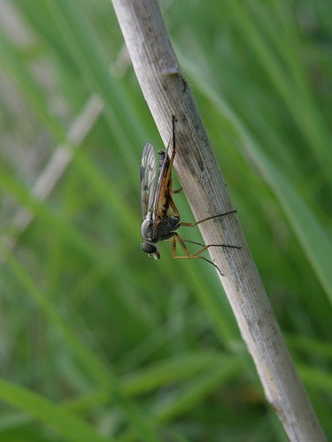 A snipe fly? (The downlooker fly)