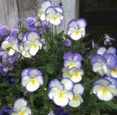 Violas at Green Meadow Farm by randubnick