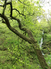Stock Ghyll Force, Ambleside (3)