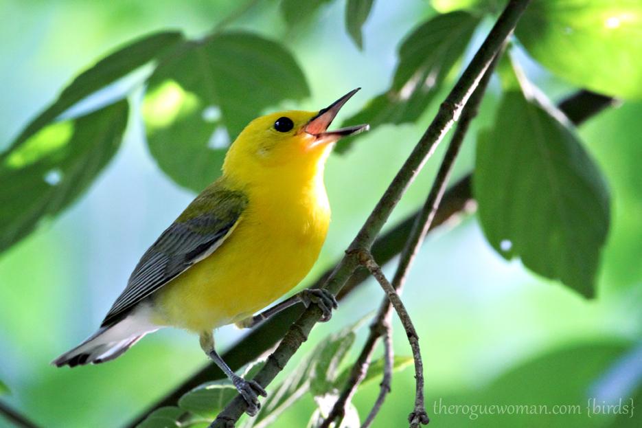 060512_04_birding12_prothoanamWarbler
