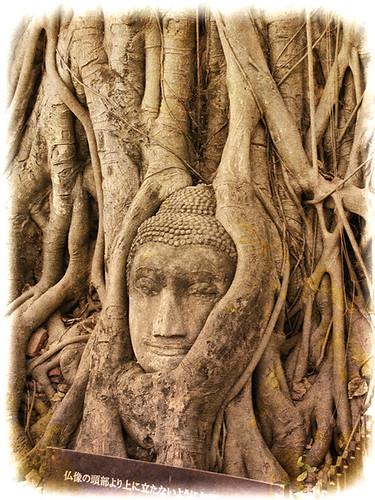 2003020321_Wat_Mahathat_tree-root-Budhha-w